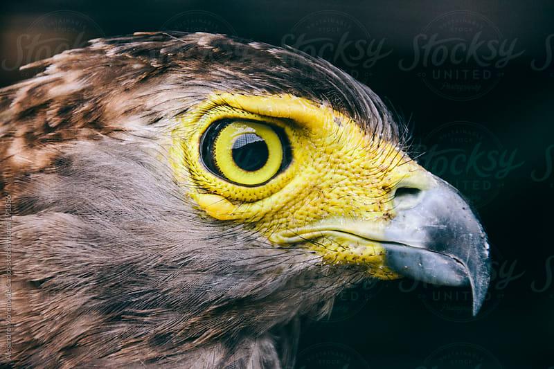 Yellow eagle by Alejandro Moreno de Carlos for Stocksy United