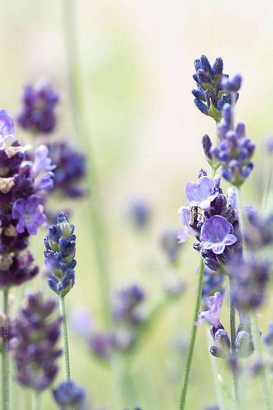 Lavender by Jonas Räfling for Stocksy United