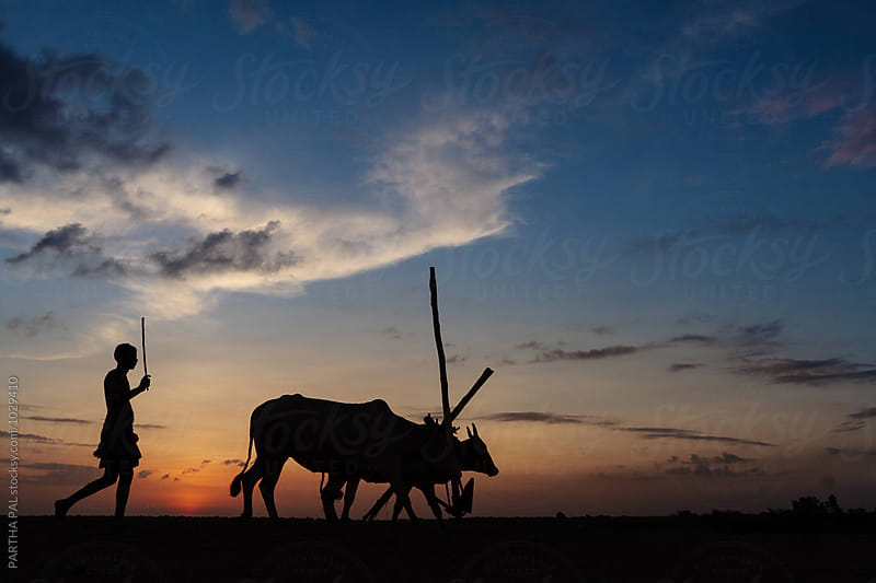 A man returning home with domestic animals in evening time by PARTHA PAL for Stocksy United