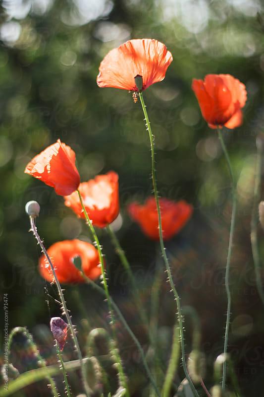 Poppies on a sunny day by Aleksandra Jankovic for Stocksy United