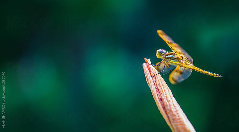 dragonfly by ALAN SHAPIRO for Stocksy United