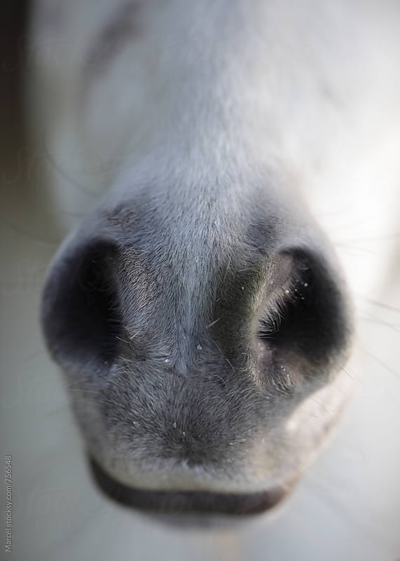 The muzzle of a pretty white pony horse by Marcel for Stocksy United