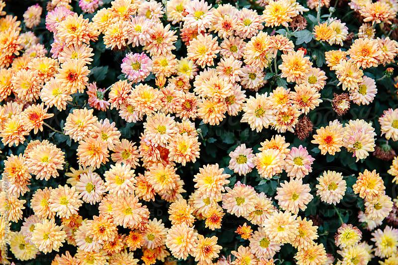 Yellow chrysanthemum background by Andrey Pavlov for Stocksy United