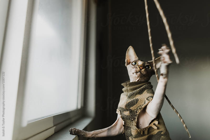 Funny Sphinx Cat playing with string toy by Isaiah & Taylor Photography for Stocksy United
