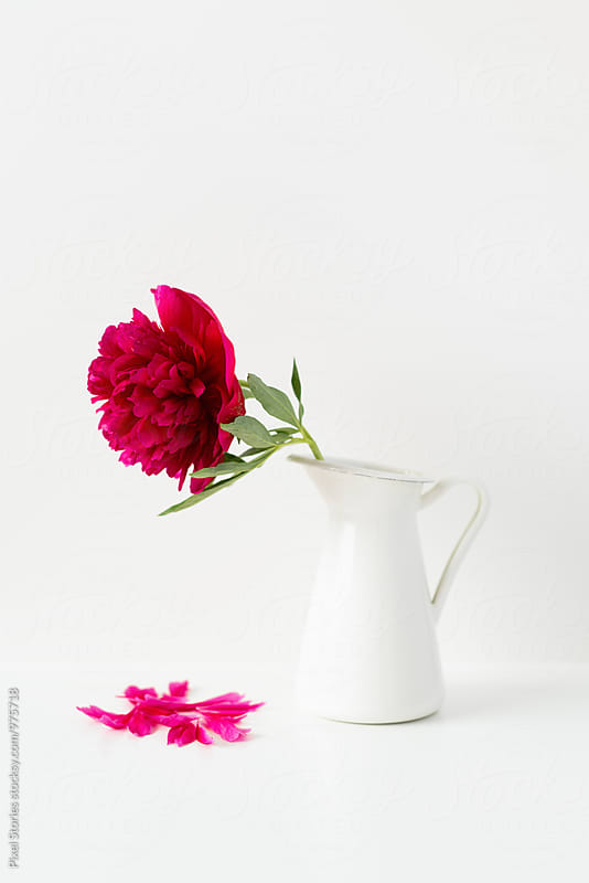 Single peony flower in a pitcher with fallen petals by Pixel Stories for Stocksy United