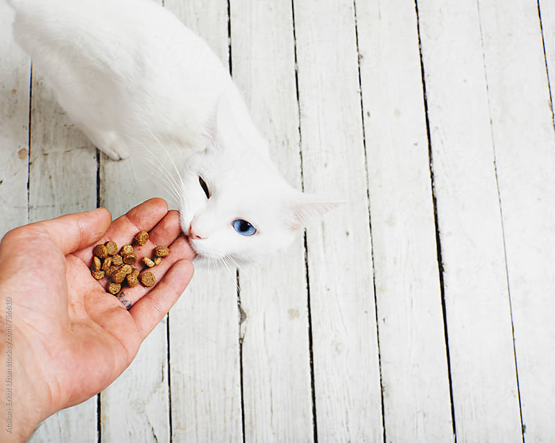 feeding white cat and he is biting back by Atakan-Erkut Uzun for Stocksy United
