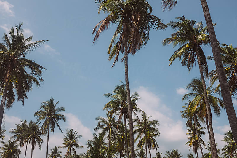 Tropical Coconut Palms by Alexander Grabchilev for Stocksy United