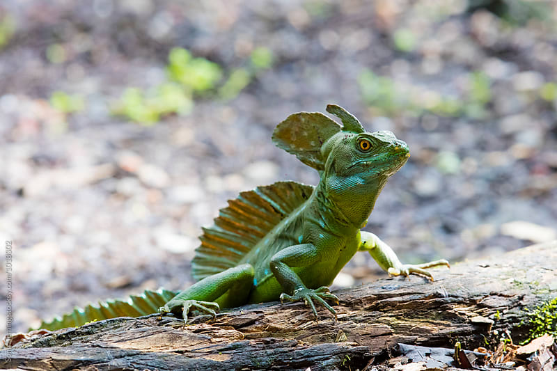 Green emerald basilisk standing on a wood by Song Heming for Stocksy United