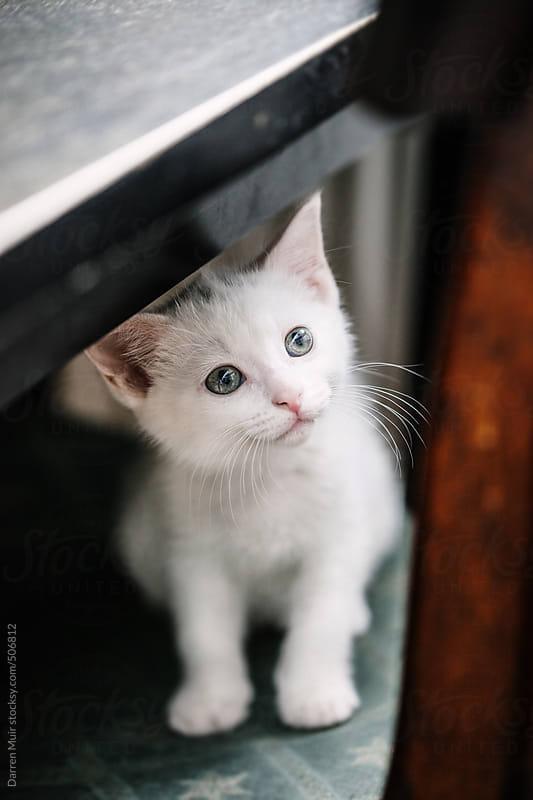 Cute white kitten.  by Darren Muir for Stocksy United