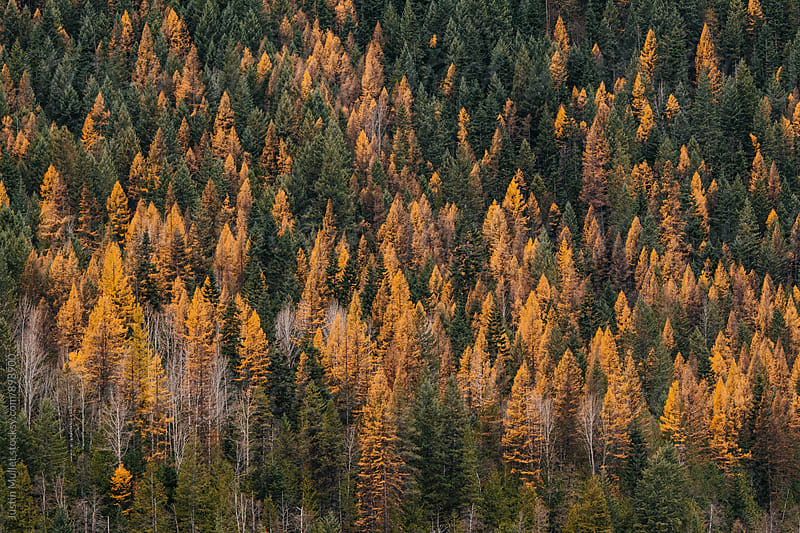 Bright yellow pine trees in the fall by Justin Mullet for Stocksy United
