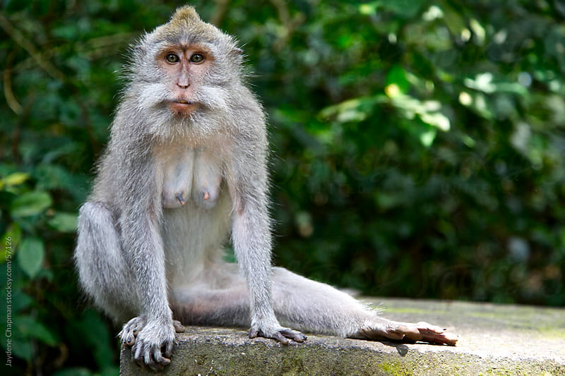 A monkey sitting on a stone wall with on leg stretched out, Monkey Jungle, Bali by Jaydene Chapman for Stocksy United