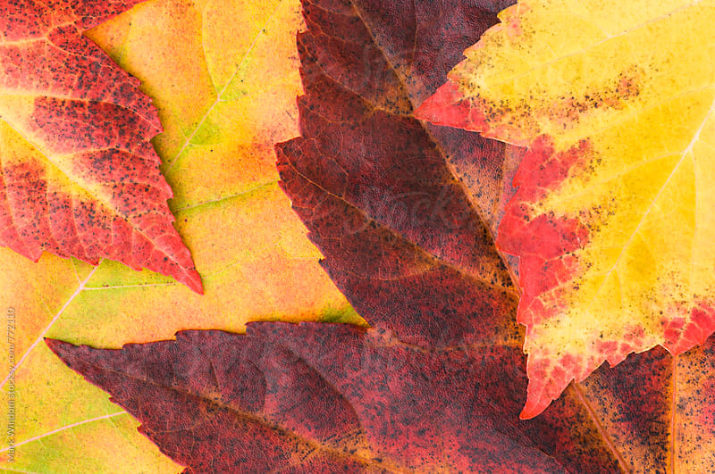 Scarlet maple leaves on the ground in Autumn, closeup by Mark Windom for Stocksy United