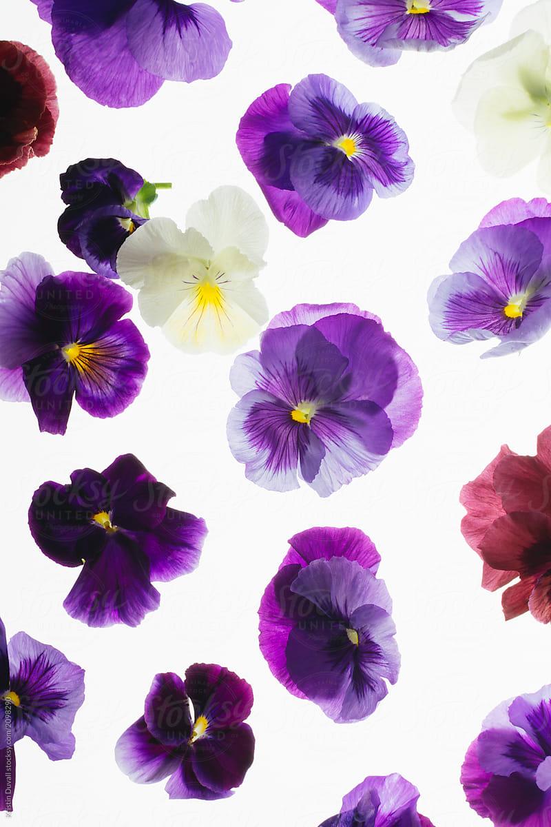 Assortment Of Fresh Edible Purple Pansies Stocksy United