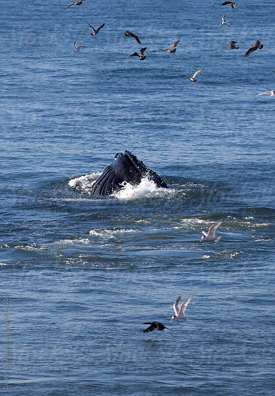 Humpback whale surfacing in Monterey Bay to feed on anchovies by Carolyn Lagattuta for Stocksy United