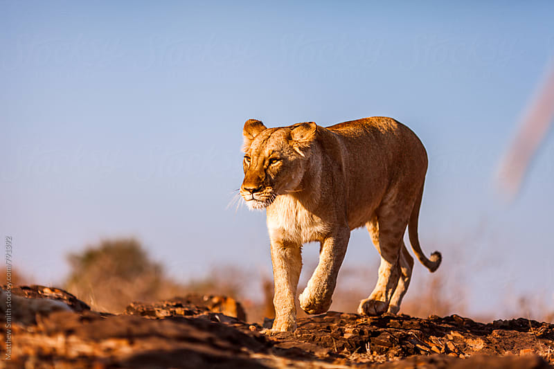 Lion On The Prowl by Matthew Smith for Stocksy United
