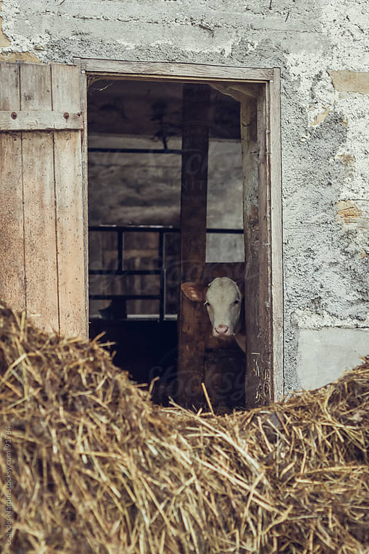baby calf looks out of a cowshed by Leander Nardin for Stocksy United