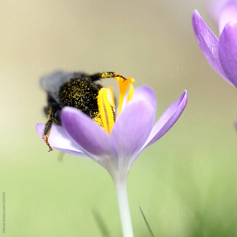 Bumblebee on crocus flower by Marcel for Stocksy United