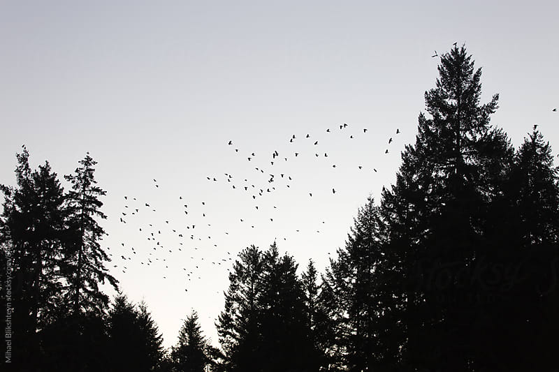 Eerie silhouette of a swarm of crows against the sky and trees by Mihael Blikshteyn for Stocksy United