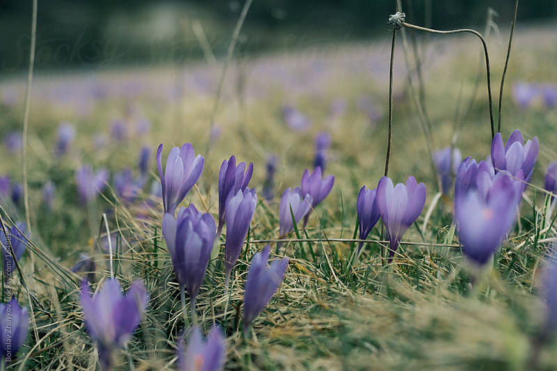 Lawn with flowering purple crocuses by Borislav Zhuykov for Stocksy United