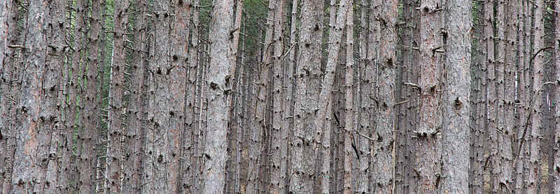 Pine tree forest by Pixel Stories for Stocksy United