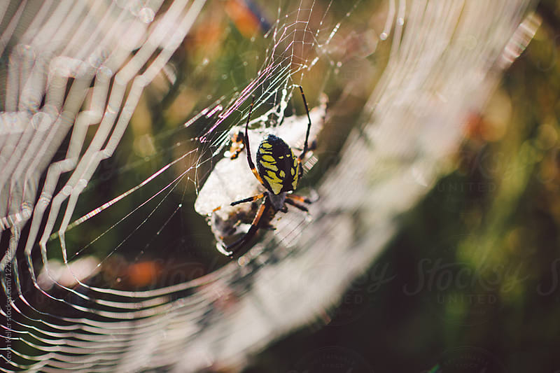 Orb Weaving Spider in the Sun by Kevin Keller for Stocksy United