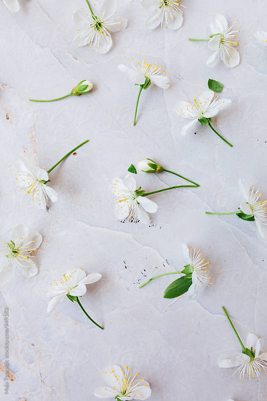 White blossom flowers on a white background by Maja Topcagic for Stocksy United