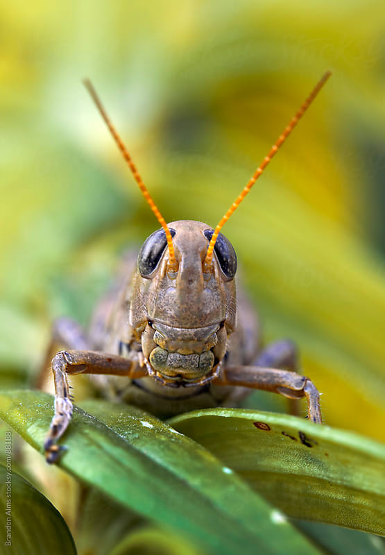 Grasshopper Macro Smiling and Showing Teeth by Brandon Alms for Stocksy United