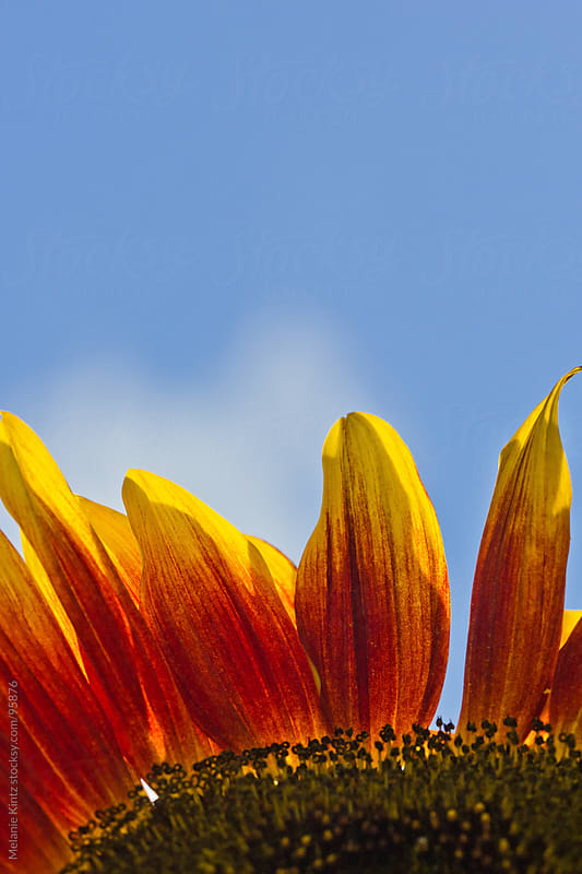 red and yellow sunflower petals before blue sky by Melanie Kintz for Stocksy United