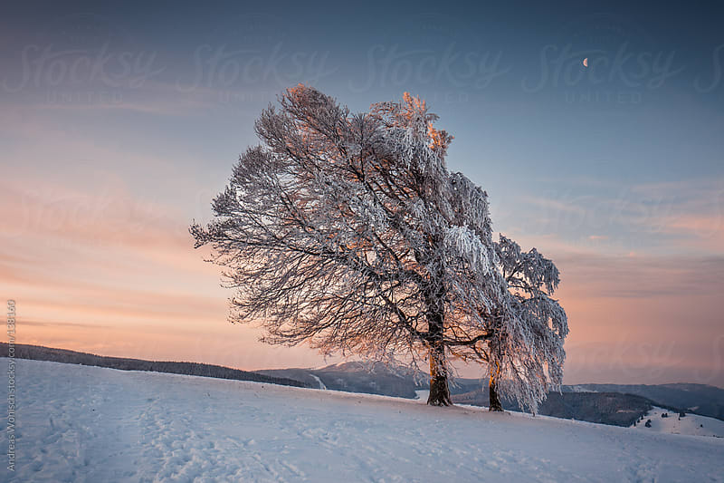 Winter Tree with Moon by Andreas Wonisch for Stocksy United