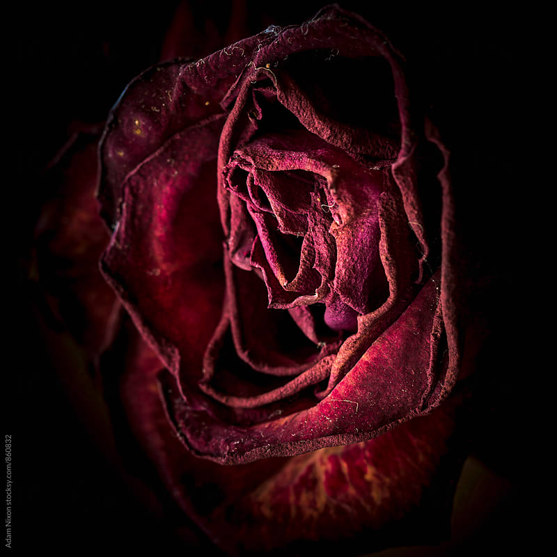 Dying and dried up red rose by Adam Nixon for Stocksy United