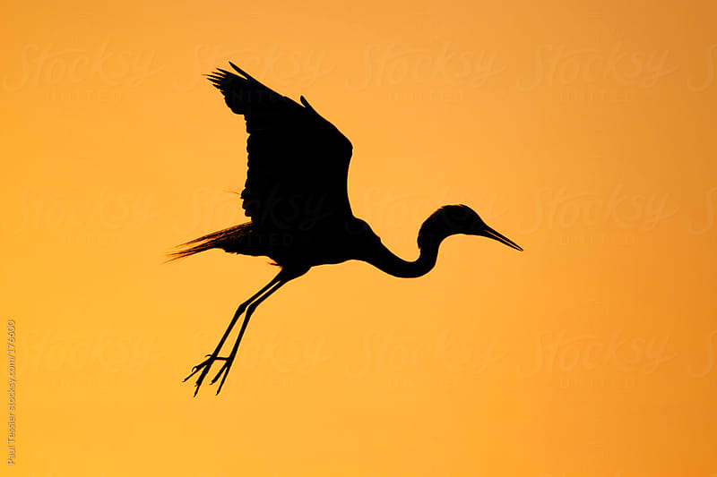 Egret in Silhouette by Paul Tessier for Stocksy United