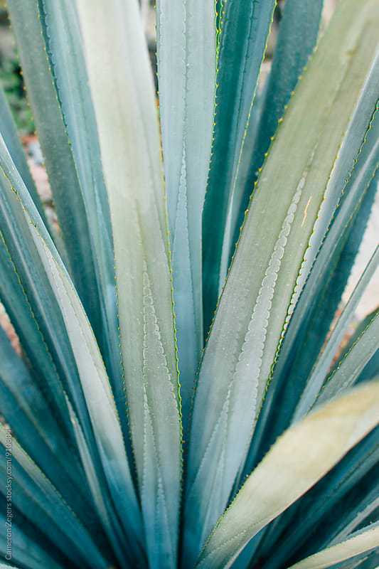 Blue Agave by Cameron Zegers for Stocksy United