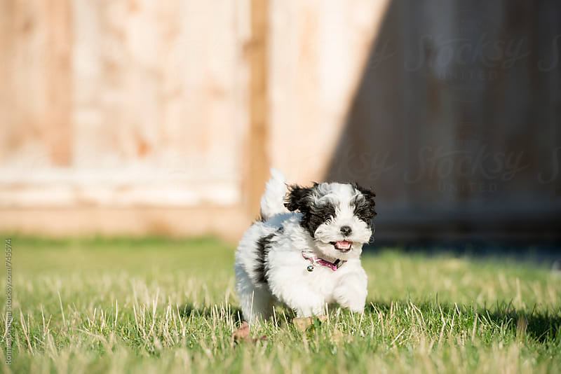 Adorable Puppy Running On Lawn by Ronnie Comeau for Stocksy United