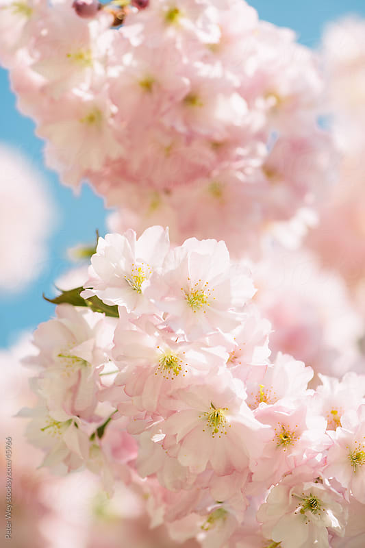 Closeup of cherry blossom with creamy pastel background by Peter Wey for Stocksy United