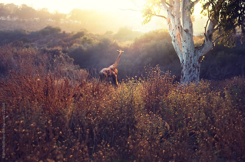 A toy giraffe in a sunset landscape by Rachel Bellinsky for Stocksy United