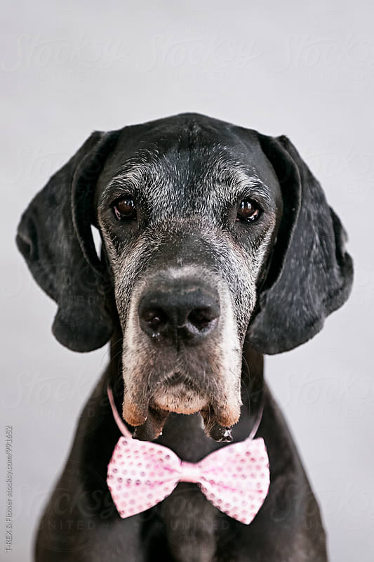 Portrait of black pet in pink bow-tie by Danil Nevsky for Stocksy United