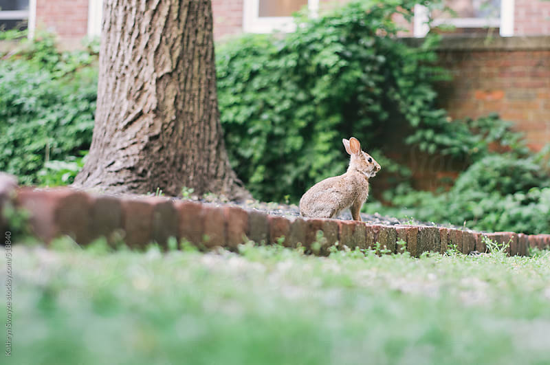 Cautious young rabbit in a brick-lined courtyard by Kathryn Swayze for Stocksy United