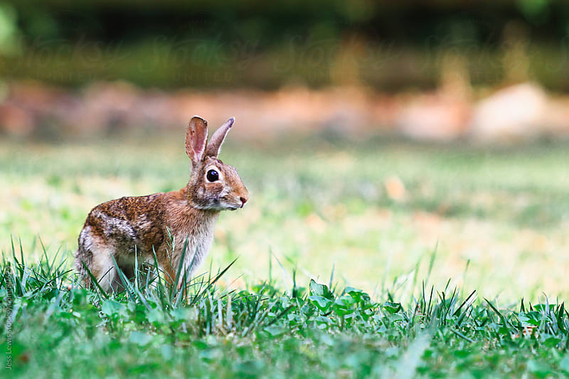 wild rabbit in grass by Jess Lewis for Stocksy United