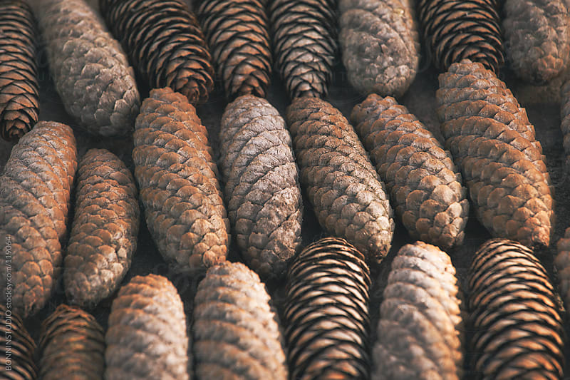 Close up of elongated pine cones in order. by BONNINSTUDIO for Stocksy United
