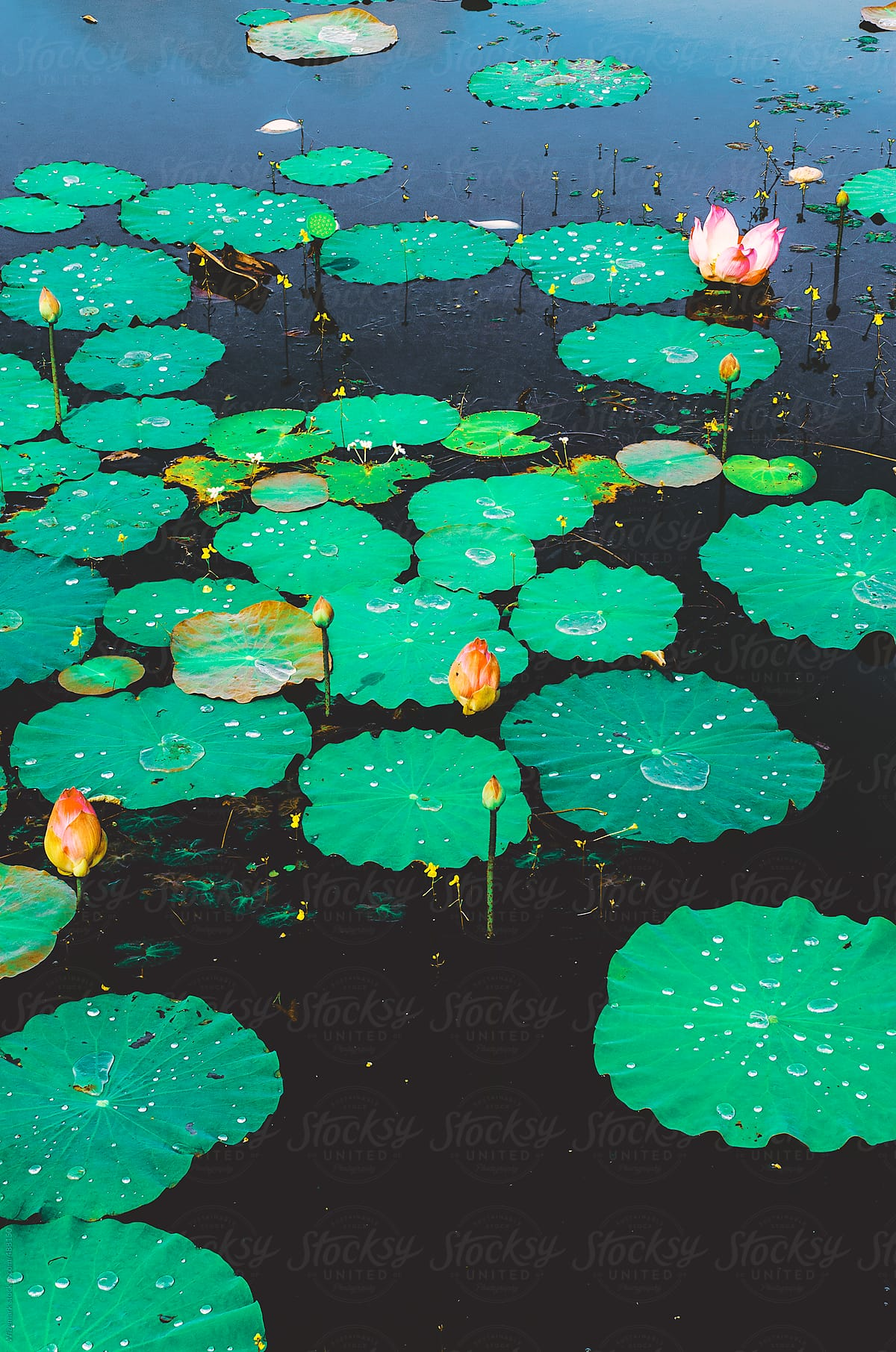 Lotus Flowerwater Lily And Lily Pads In A Pond Abstract Floral