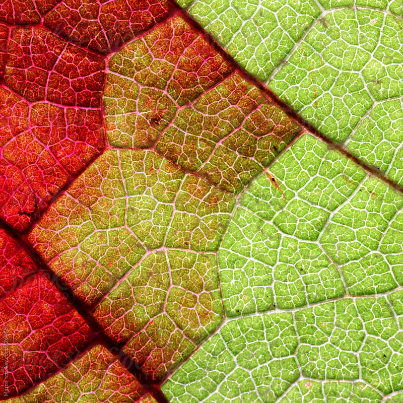 Grapevine leaf turning red in autumn by Marcel for Stocksy United