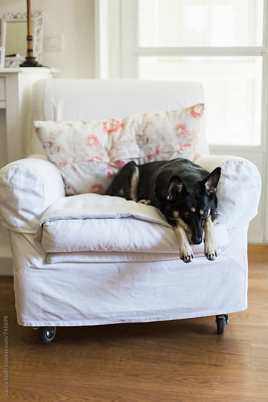 Dog laying in funny way on armchair in bright living room by Laura Stolfi for Stocksy United