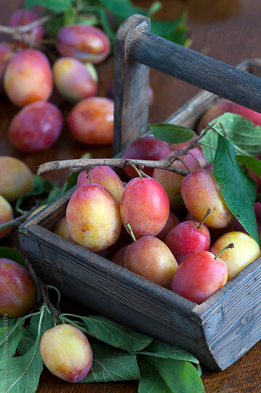 harvested plums in a wooden trug by Lee Avison for Stocksy United