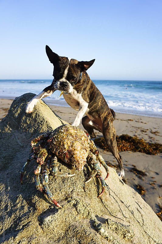 Bruce the Boston terrier/Pug at the beach. by Shannon Aston for Stocksy United