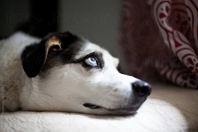 blue eyed dog lying on bed staring out window by Lisa MacIntosh for Stocksy United