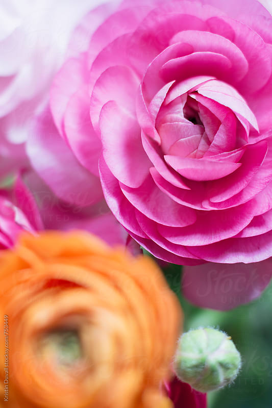 Pink and orange Ranunculus flowers by Kristin Duvall for Stocksy United