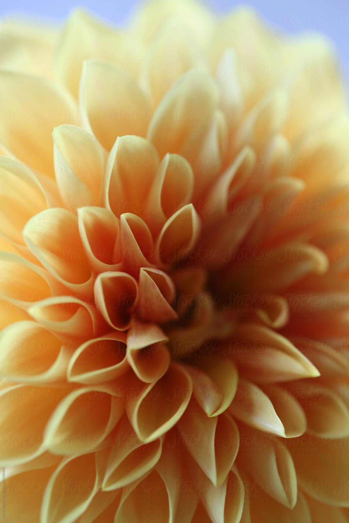 Close up of a pale orange dahlia flower stocksy united close up of a pale orange dahlia flower by alicia bock for stocksy united izmirmasajfo