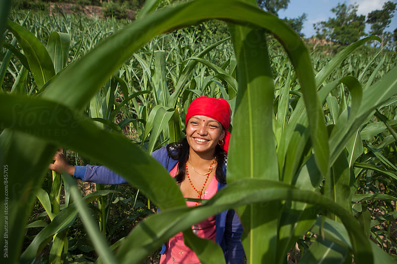 A young woman working in a corn field. by Shikhar Bhattarai for Stocksy United