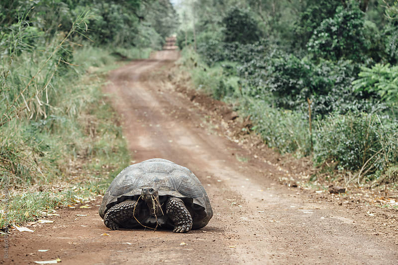 Galapagos Tortoise by Richard Brown for Stocksy United