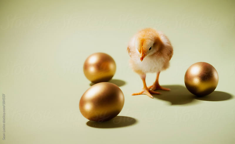 Chicks: Baby Chick Walks Among Golden Eggs by Sean Locke for Stocksy United